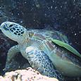 Takezawa_turtle