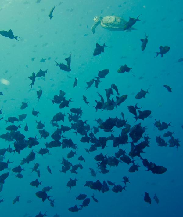 Redtoothtrigarfish