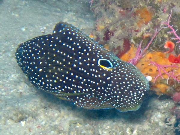 Comet_fish