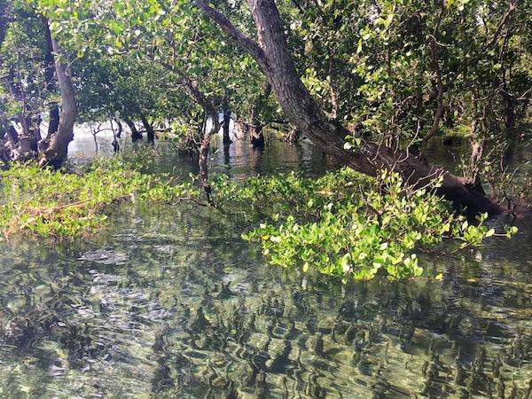 Mangrove_052