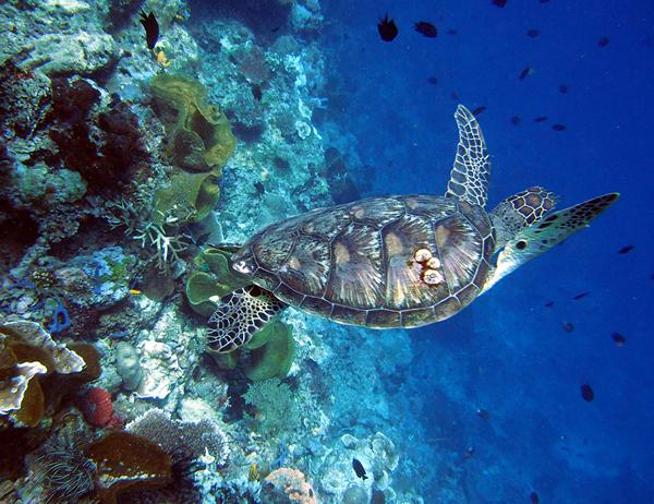 Turtle600